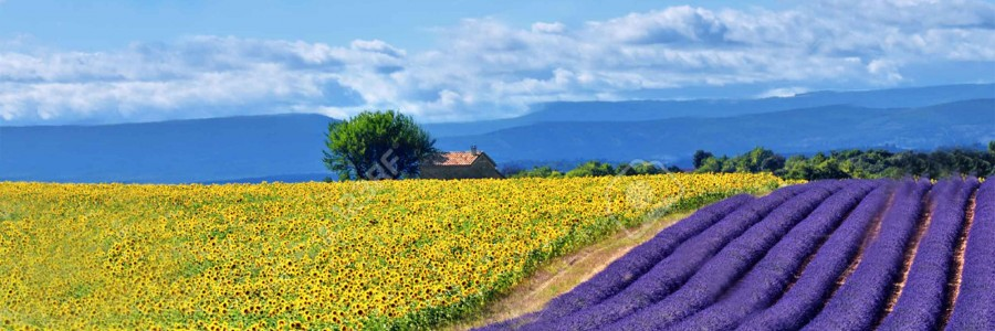 Lavander and Sunflower fields