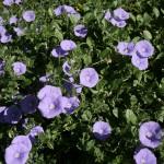 Mas Pellier Barjac, des fleurs partout...